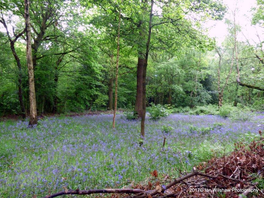 """Clearing with bluebells"