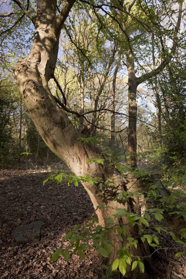 """Twisted hornbeam"