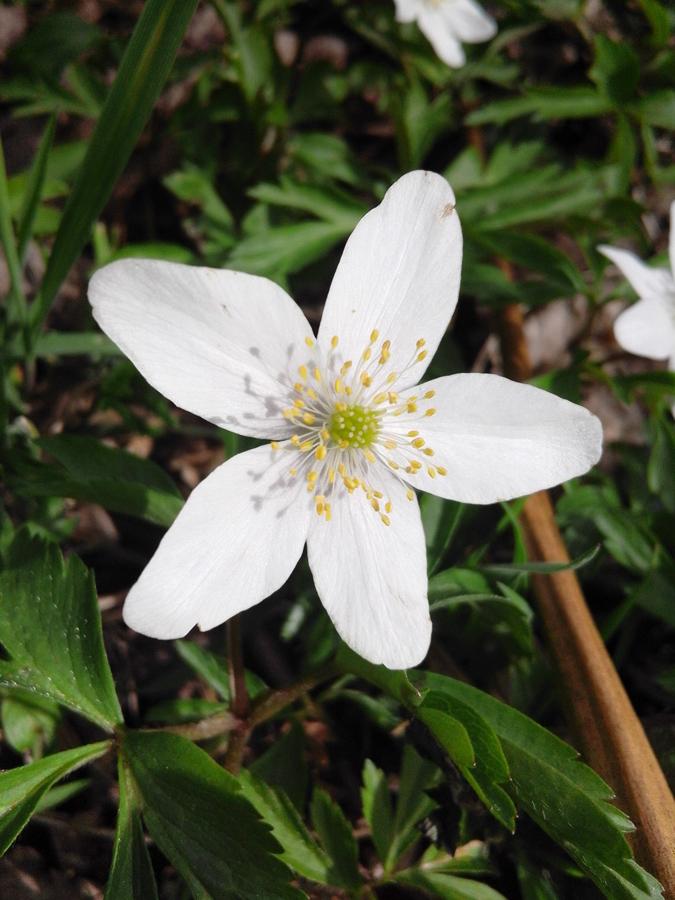 """Wood anemone"