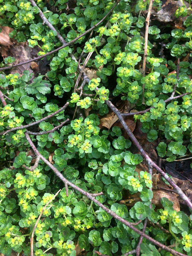 """Opposite-leaved golden saxifrage"