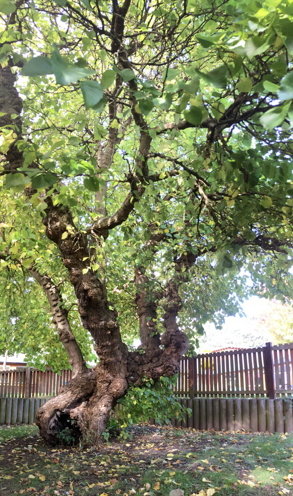"""ancient black mulberry tree"