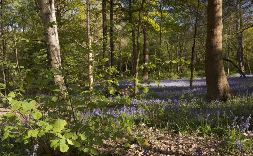 HS2 Phase 2b: fighting for ancient woods and trees