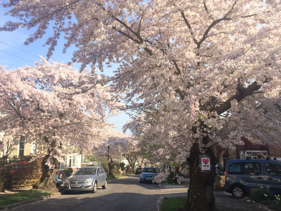 """cherry blossom abbeydale park rise"