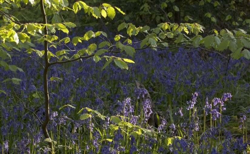 English bluebells in Ecclesall Woods